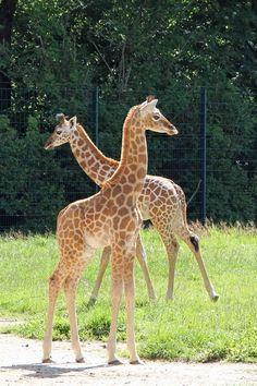 TierparkBerlin: Zweites Jungtier bei den Uganda-Giraffen im Tierpark Berlin geboren
