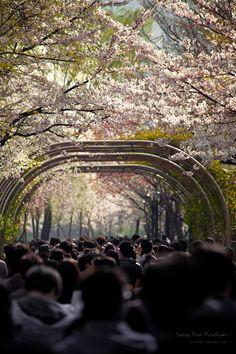 Cherry Blossoms Seoul Korea