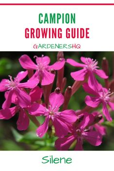 How to Grow Campion, Catchfly, Fire Pink & Weed Silene. Advice on Growing Silene Plants in Your Garden. Gardeners HQ Plant Growing Guides.