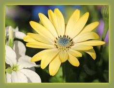 Beautiful yellow African Daisy in bloom at Cantigny Gardens, Wheaton , IL