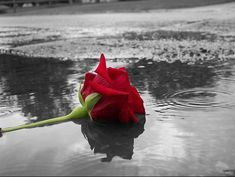 A Lonely Rose ~ Color Splash