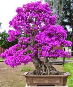 Bougainvillea bonsai tree by Mary Joy Z