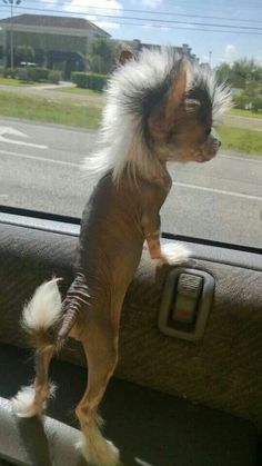Chinese crested puppy....loving the mohawk!!