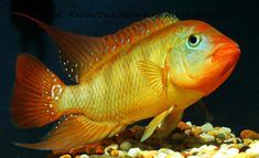 Photographing Fish In An Aquarium. Tips on  hoiw to get the best from your fish photography with emphasis on big cichlids
