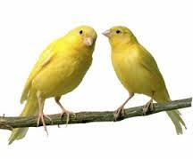 Image result for zebra finches