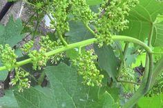 Что нужно винограду после цветения — БУДЬ В ТЕМЕ Farm, Garden, Vegetable Garden, Home And Garden, Plants, Herbs, Garden Tools, Small Farm, Summer House Garden
