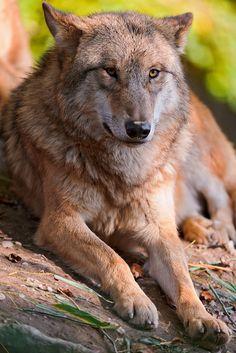 Lying wolf III by Tambako the Jaguar