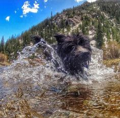 Charlie loves to swim, and the rivers around Breckenridge are the perfect spot to cool off.