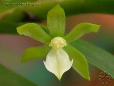 Dichaea australis