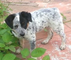 Texas Heeler Australian Puppies, Border Collies, Australian Shepherd, Puppy Love, Doggies, Fur Babies, Texas, Cute, Animals