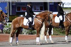 Finnhorse stallion Savelan Hemuli