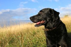 Labrador sitting in grass - stock photo