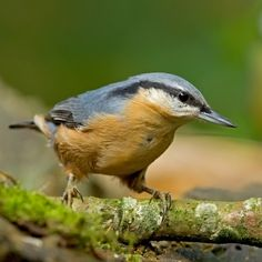 Eurasian Nuthatch (Sitta europaea)  Eurasian Nuthatches from the east have a white bottom, while ones in the west are brown.