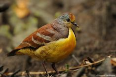 Cinnamon Ground Dove - (Gallicolumba rufigula) also known as Golden heart dove or Red throated ground dove. Their distribution is in West Papua, Indonesia and Papua New Guinea.
