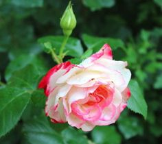 Old and antique roses survive and thrive--and have intense perfume. See best varieties on our gardening blog.