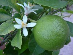 Lime Oil, Some Uses