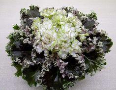 African Violet (saintpaulia) plant IAN KAPRIZ - variegate, wow!  ~ Fantastic Russian from a fabulous seller.