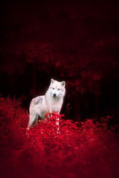 """plasmatics-life: Wolf in Wonderland by Dustin Abbott """"We have doomed the wolf not for what it is, but for what we deliberately and mistakenly perceive it to be –the mythologized epitome of a savage..."""