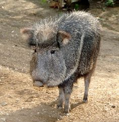 Peccary.  Vic took photos of peccaries after she escaped the cavern of the beast.