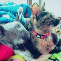 去年6月に肥満細胞腫でお空にいった ボブ(ミニシュナ)と福ちゃん。 何故か福ちゃんはボブにだけは スリスリごろごろいって懐いてたな~~~ いつも一緒に寝てた😺🐶 #サビ猫 #ミニシュナ #ミニチュアシュナウザー #愛猫 #愛犬 #肥満細胞腫