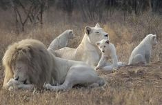 white lions--note: they are different than albino lions! they are less white, and their color is not caused by albinism.