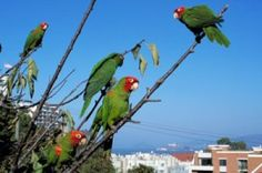 wild-parrots-of-telegraph-hill