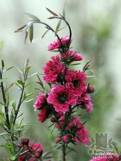 Leptospermum Scoparium 'Red Damask' from Burncoose Nurseries available online to buy - Information: double dark red flowers and dark green leaves. Trees And Shrubs, Flowering Trees, Trees To Plant, Love Garden, Dream Garden, Garden Art, Damask Decor, Native Plants, Tea Tree