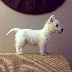Não é bonito em tudo. | 29 Pictures That Prove You Should Never Own A Westie