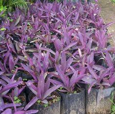 Bugambilia arbusto vivero la flor de morelos plants y for Viveros de plantas de ornato