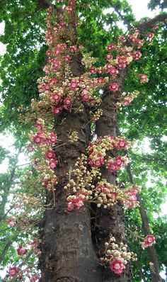 Couroupita guianensis - Cannonball Tree.  A South American native, the mighty, it can grow to 24mtrs, cannonball tree is named for its large, spherical brown fruits.  When in flower it produces beautiful orange and pink blossoms that hang in festoons reaching up to 3mtrs in length.