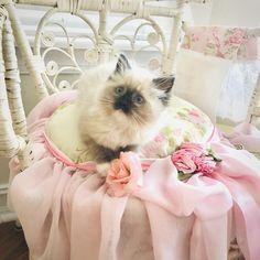 Rose Cottage, Shabby Cottage, Shabby Chic, Teacup Kitten, Pin Logo, New Theme, Kittens, Kitty Cats, Disney Wallpaper