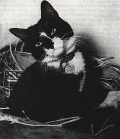 Simon was perhaps the most famous of the wounded aboard HMS Amethyst, in 1949, during the Chinese Civil War, when communists shot at the British frigate. When he was discovered days after the contretemps, his whiskers and eyebrows were singed, he was frail, and his fur was caked in dried blood. But within months he had gained strength and continued his career as the Amethyst's chief rat-catcher.