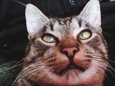 Pin it Cats, Animals, Gatos, Animales, Kitty Cats, Animaux, Animal, Cat, Kitty