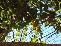 L'uva siciliana