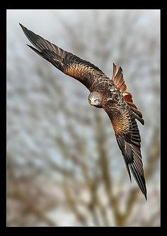 birds of prey/selamat pagi Indonesia ~ I love you 💞 💞 💞 Funny Birds, Cute Birds, Pretty Birds, Small Birds, Beautiful Birds, Animals Beautiful, Australian Birds, Tropical Birds, Bird Pictures