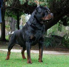von ruelmann rottweilers-rottweiler puppies for sale in california