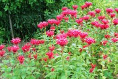 Top 10 Native Plants for Your Michigan Garden: Bee Balm