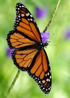 Monarch by Sabrina L Ryan