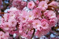 Free images about Sakura Pink Cherry Blossom Japan - MobDecor Uhd Wallpaper, Wallpaper Pictures, Pictures Images, Flower Background Wallpaper, Flower Backgrounds, Blossom Trees, Blossom Flower, Cherry Blossom Japan, Gardens