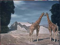 """Twee giraffen (Two Giraffes)"" a. ""Giraffen in het park van Versailles (Giraffes in the Park at Versailles)"", 1956 / Carel Willink / Collection G. Okapi, Magic Realism, Z Arts, Dutch Painters, Animal Paintings, Versailles, Art History, Surrealism, Netherlands"