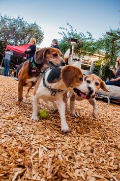 On February 27th, 2013, ten male beagles made their way from a test lab in the midwest to BFP Headquarters in North Hollywood, CA. Battling blizzards and road blocks, these boys are now finally 100% cage free and cruelty free thanks to Shannon Keith and her helping hands at ARME/ Beagle Freedom Project
