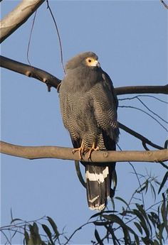 African Harrier Hawk | African Harrier-hawk (Polyboroides typus) Frontal view of a perched ...