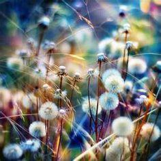 #dandelions