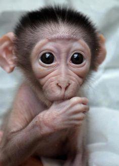 cute monkey sucking on his thumb