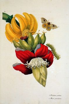 Merian Maria Sibylla Flowers Sun « Maria Sibylla Merian (April 1647 – January « Artists « Art might - just art Vintage Botanical Prints, Botanical Drawings, Botanical Flowers, Botanical Art, Art And Illustration, Sibylla Merian, Impressions Botaniques, Banana Flower, Banana Blossom