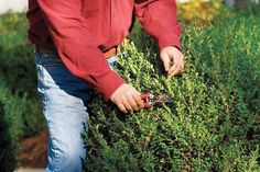 Photo: Kindra Clineff | thisoldhouse.com | from Shrub Pruning Dos and Don'ts