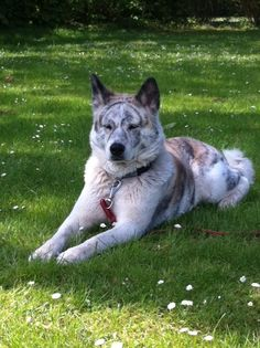 Akita inu Brindle Java Cute Cats And Dogs, I Love Dogs, Animals And Pets, Dogs And Puppies, Cute Animals, Doggies, Spitz Breeds, Dog Breeds, Dog Lover Gifts
