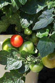 Tomatoe planting ✿⊱╮
