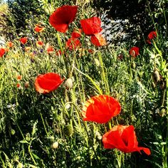 #poppies #flowerslovers #instaflower #naturephotography #naturelover #plants #botanic #summertime #colorofnature #silence #outerworld #android #nature #flower #blooming #blossoms http://gelinshop.com/ipost/1524779976745684895/?code=BUpG09qjg-f