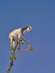 okay, so maybe it won't be in a tree, but I can't wait to have goats again!!